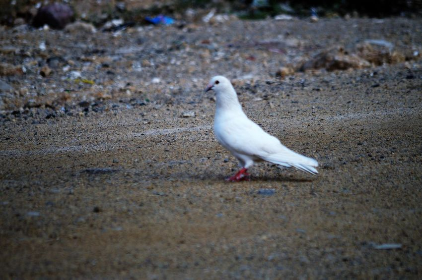 Animal Themes Animal Bird Vertebrate One Animal Animal Wildlife Animals In The Wild Land No People Day Selective Focus Nature Seagull Outdoors Dove - Bird Full Length White Color Perching Close-up Beach