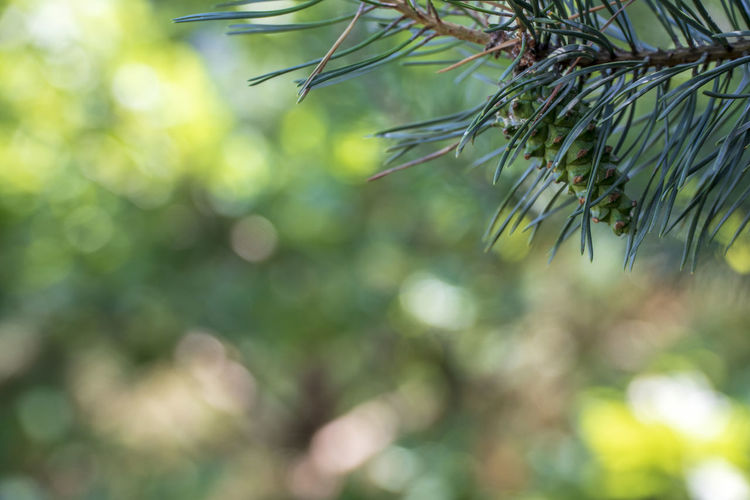 Green pine cone with beautiful bokeh background Beautiful Colours Pine Plant Backgrounds Beauty In Nature Bokeh Branch Close-up Cone Coniferous Tree Day Focus On Foreground Green Color Growth Leaf Nature Needle - Plant Part Pine Tree Sunlight Tranquility Tree Twig Wallpaper Yellow