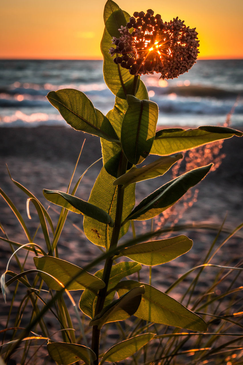 Close-Up Of Plant Growing At Beach During Sunset