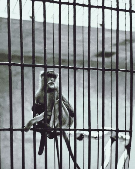 Cheyenne Mountain Colorado Springs, Colorado Caged In Zoo Animals  Looking Up Outdoor Black & White Daylight Alone