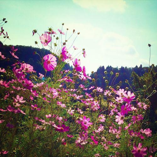 Flowers Cosmos Autumn Nature