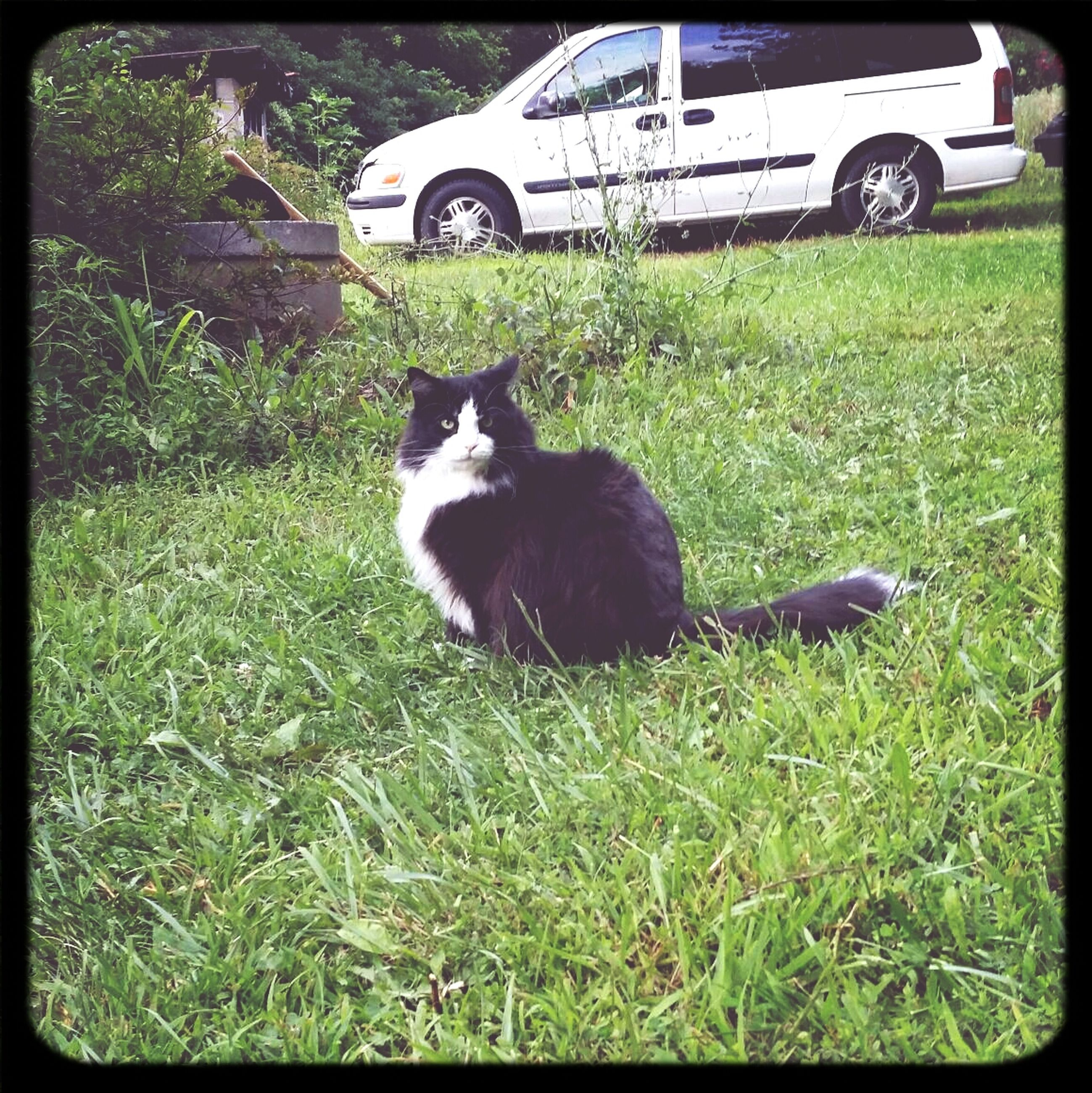 pets, domestic animals, domestic cat, one animal, cat, animal themes, mammal, feline, grass, transfer print, sitting, whisker, looking at camera, field, plant, grassy, portrait, auto post production filter, front or back yard, alertness