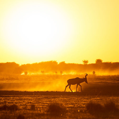 Africa sunset landscape with silhouetted Impala walking on the dusty ground in Botswana, Africa Sky Animal Wildlife Animal Themes Animal Sunset Mammal Domestic Animals Vertebrate One Animal Orange Color Silhouette Nature Clear Sky Domestic Field Horse Land Livestock Copy Space No People Herbivorous Outdoors Impala Africa Botswana Safari Animals