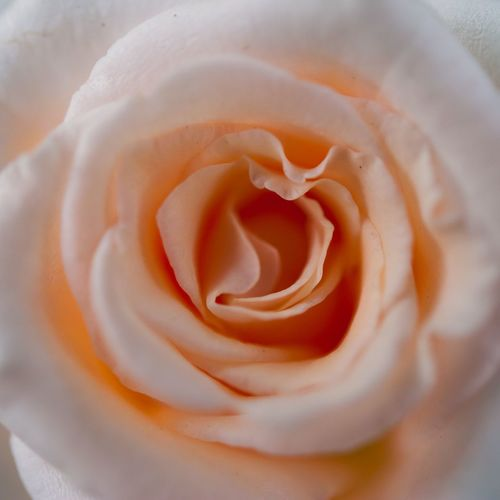Beauty Beauty In Nature Blooming Close-up Flower Flower Head Freshness Full Frame Growth Love Nature No People Outdoors Petal Plant Rasé Rose - Flower