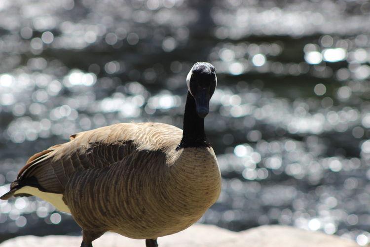 Close-up of canada goose against lake