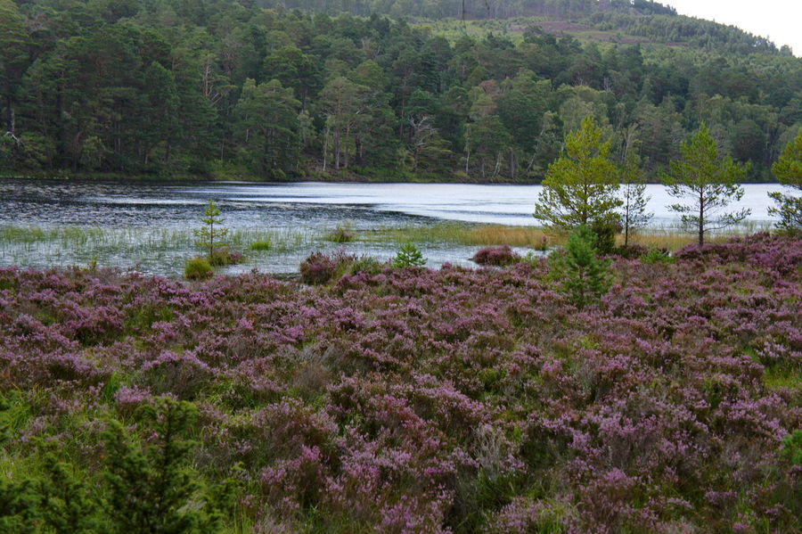 Heather Beauty In Nature Day Europe Flower Grass Growth Heather Highlands Holidays Lake Loch An Eilein Moor  Nature No People Outdoors Plant Scenics Scotland Swamp Tranquil Scene Tranquility Traveling Tree Uk Water