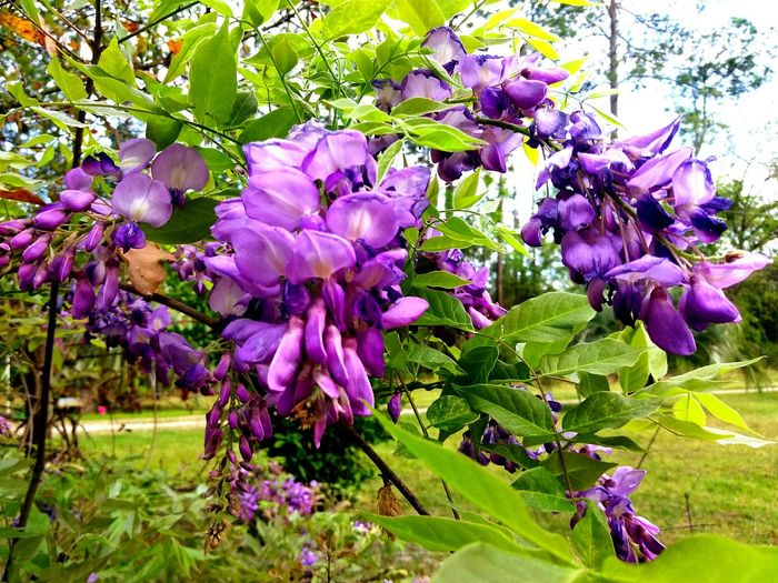 Wisteria Lane Purple Wisteria Springtime Outdoors No People Sweetest Smell Fragrant Flowers Wisteria Ln Lost In The Landscape