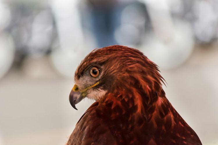 Bird Photography Bird Hawk Portrait