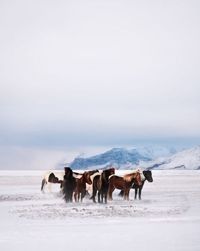 Horses on a snow covered land