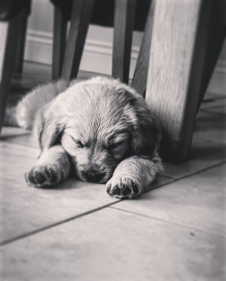 EyeEm Selects Dog Pets One Animal Sleeping Animal Themes Lying Down Animal Tired Domestic Animals Indoors  Cute Mammal Puppy No People Relaxation Close-up Black And White Pet Portraits