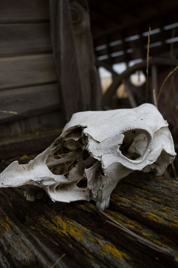 Old Cow Animal Bone Animal Skull Close-up Day No People Outdoors Wood - Material