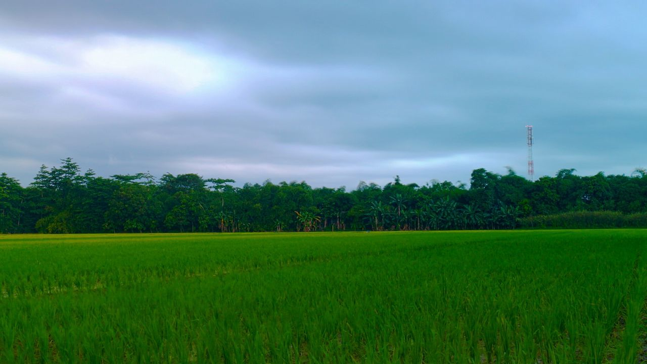 field, growth, agriculture, nature, tree, sky, green color, beauty in nature, rural scene, landscape, cloud - sky, no people, tranquility, outdoors, tranquil scene, day, scenics, grass, plant, rice paddy, cereal plant