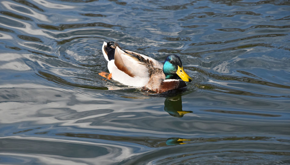Mallard duck in a pond Animal Animals In The Wild Bird Day Duck Lake Mallard Mallard Duck Nature One Outdoors Photography Reflection Rippled River Surface Swimming Trace Water Wildlife Nature's Diversities