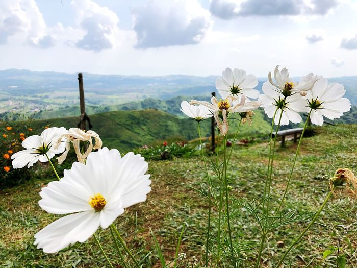 Flower Flowering Plant Plant Beauty In Nature Freshness Growth Fragility Nature Cloud - Sky Mountain Flower Head Field White Color