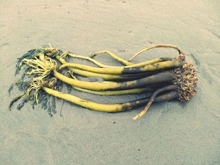 seaweed stalk