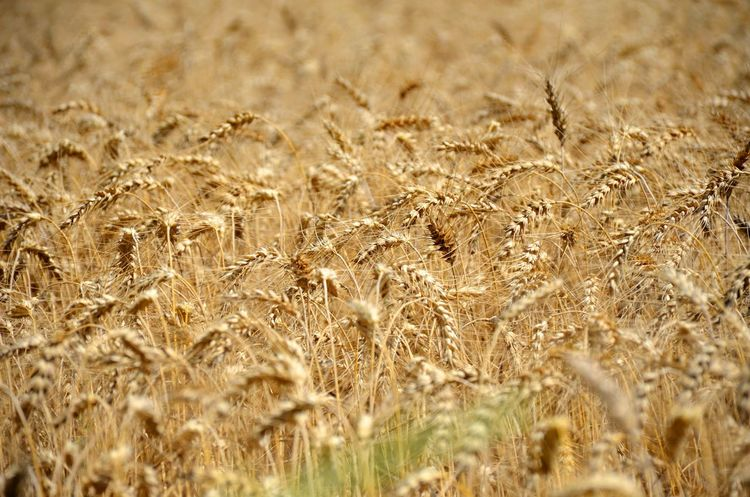 Harvest time in the Catalan countryside Agriculture Crop  Landscape Cereal Plant Land Plant Growth Wheat Field Nature Rural Scene Farm No People Day Environment Backgrounds Tranquility Full Frame Beauty In Nature Outdoors Wind Oat - Crop Inspiration Abundance Tranquility
