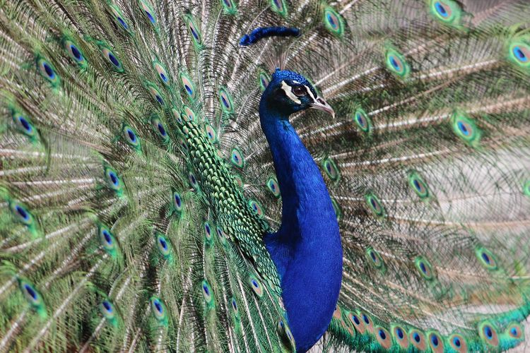 Full frame shot of fanned out peacock