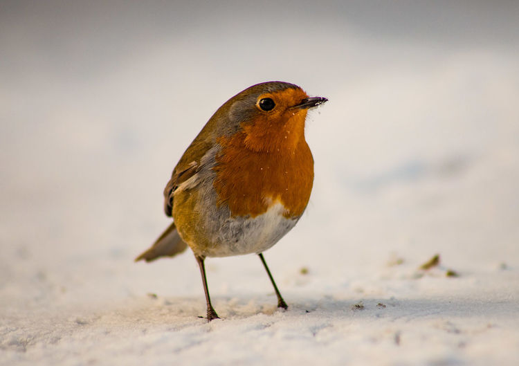 Garden Bird Red Animals In The Wild Beauty In Nature Bird Close-up Cold Temperature Nature No People Robin Robin Redbreast Snow Wildlife Winter