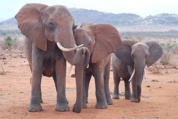 Animal Themes Animals In The Wild Elephant Elephant Calf Eye4photography  EyeEm Best Shots EyeEm Nature Lover Family Hug Safari Animals Togetherness Wildlife