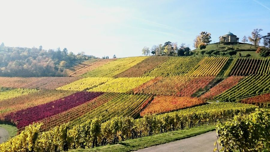 Colorful Falltime Wineyard Beauty In Nature Agriculture Nature Outdoors