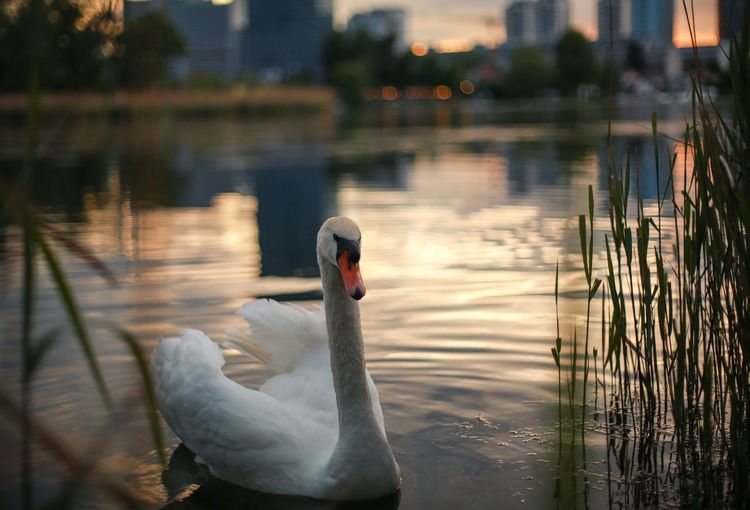 Swan Animal Themes Animals In The Wild One Animal Bird Lake Reflection Water Swimming Water Bird Beak No People Vertebrate Focus On Foreground Nature Outdoors Floating On Water (null)Day Animal Wildlife Close-up Sunset Beauty In Nature Nature Swimming