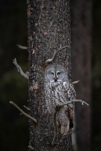 Great gray owl Owl Gray Grey Great Animal Wildlife Animal Themes Animal Animals In The Wild Focus On Foreground Tree One Animal Trunk Tree Trunk Nature No People Outdoors Wood - Material Close-up Reptile Lizard Day Plant Vertebrate Selective Focus