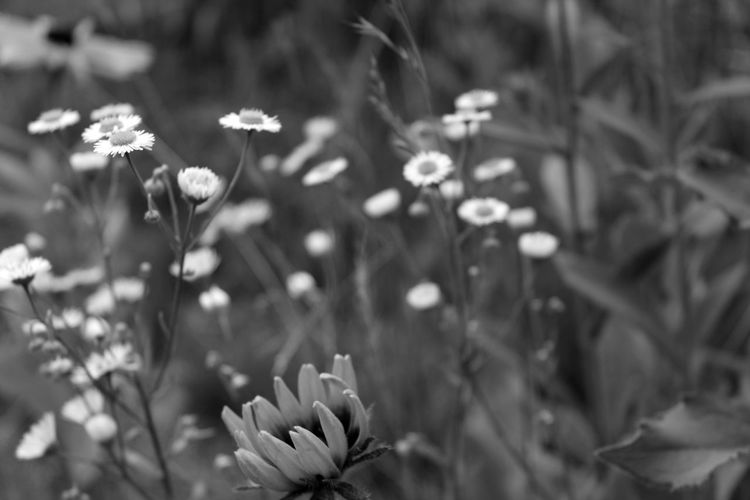 Flower Vacations Petals Growth Plant Beauty In Nature Freshness Petal Fragility Blooming No People Outdoors Flower Head Day Close-up Blackandwhite Canon Black And White Spring Garden Many Flowers Bouquet Village Life Nature Welcome To Black TCPM The Great Outdoors - 2017 EyeEm Awards Sommergefühle