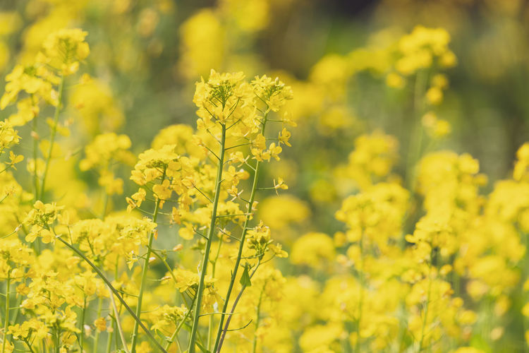 canola flowers in spring Flower Yellow Flowering Plant Plant Oilseed Rape Beauty In Nature Field Growth Fragility Freshness Vulnerability  Land Agriculture Selective Focus Crop  Close-up Day Mustard Plant Nature Rural Scene No People Outdoors Springtime Canola Flowers Yellow Flower Spring Flowers Spring Cole Flowers
