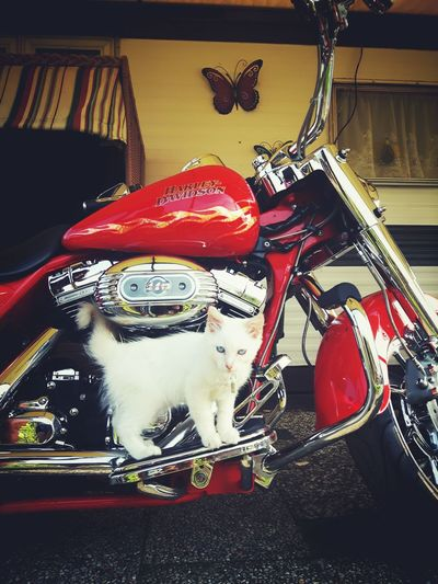 No People Close-up Day Animal Portrait Cats Beauty Animal Photography Catoftheday Catlovers Travelling Summer Photography Looking At Camera Animal Themes Pets EyeEm Selects Motorcycle Harleydavidson Harley Davidson HarleyDavidsonMotorcycles Red Motorcycle Party Travel Animal Cat