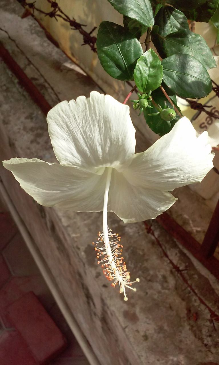 flower, white color, fragility, flower head, petal, beauty in nature, nature, no people, plant, close-up, day, freshness, growth, outdoors, hibiscus