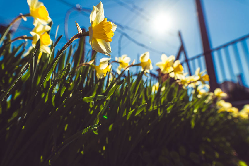 Springtime Beauty In Nature Flower Flower Head Freshness Growth Nature Plant Spring Sunlight Wide Angle Yellow