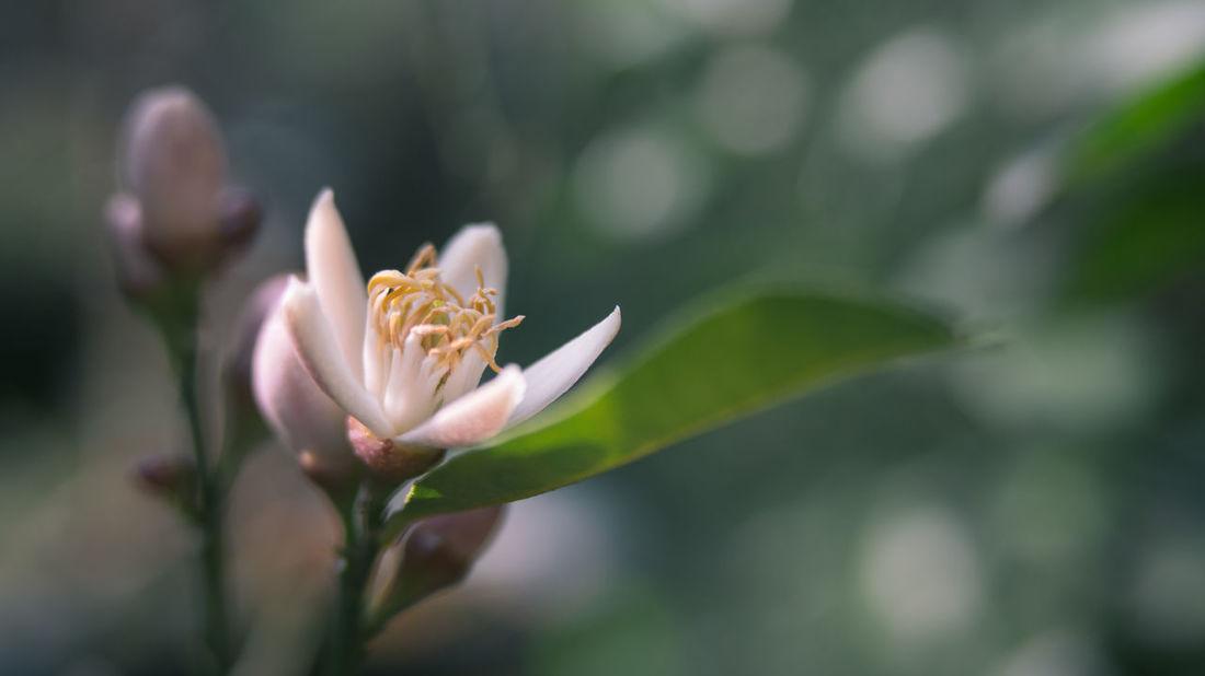Beauty In Nature Flowers Growth Growth Lemon Flower Macro Macro Photography Plants Traveling