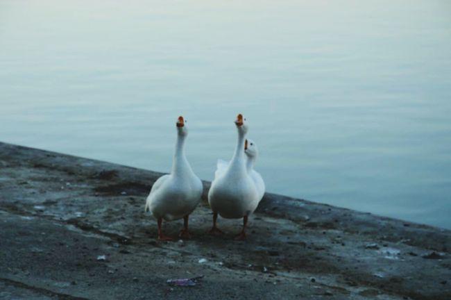 Shaping The Future. Together. EyeEm Best Shots Taking Photos Bird Photography EyeEm Birds EyeEmBirds Birds Ducks Pair Lake