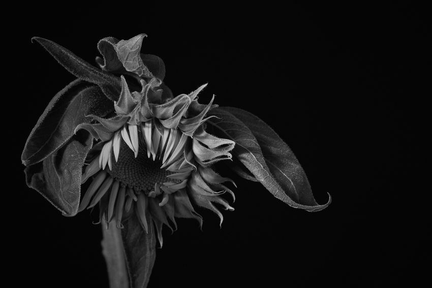 Sunflower Flower Petal Flower Head Black Background Fragility Studio Shot Beauty In Nature Night Nature No People Growth Close-up Plant Freshness Blooming Outdoors Sunflower Photography Black And White Film Noir Style