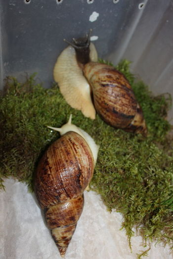 Animal Shell Animal Themes Close-up Day Gastropod Indoors  Nature No People Snail