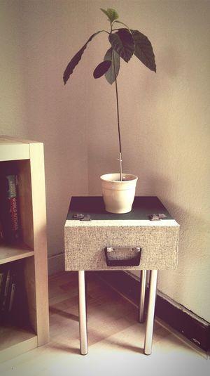 Avocado Plant Indoors  Home Interior Vintage❤