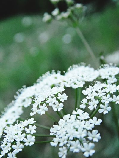 Flower Nature White Color Beauty In Nature Flower Head Fragility Beauty Pure Innocence EyeEmNewHere Perspectives On Nature Botany Petal Pollen Blooming Blossom Plant Life Flowering Plant In Bloom Single Flower