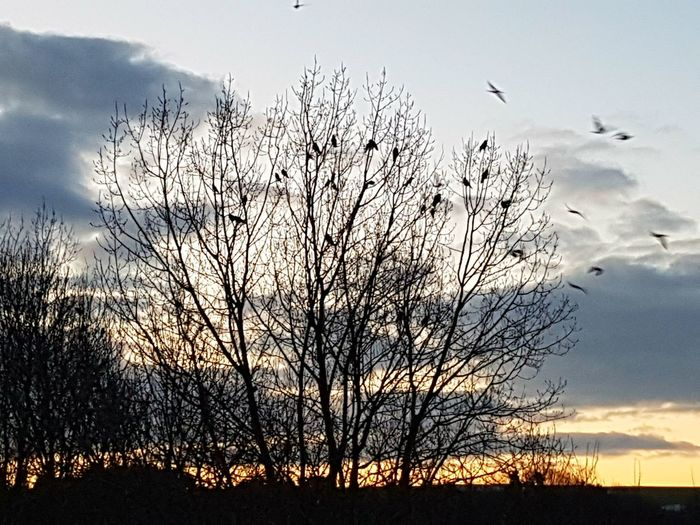 the dawn chorus Springtime Morning Chorus Dawn Of A New Day Sunrise Birds Crows Animals In The Wild Bird Silhouette Flying Animal Wildlife Flock Of Birds Animal Themes Winter Day Landscape Tree Beauty In Nature Sky Cloud - Sky Large Group Of Animals Outdoors No People Nature