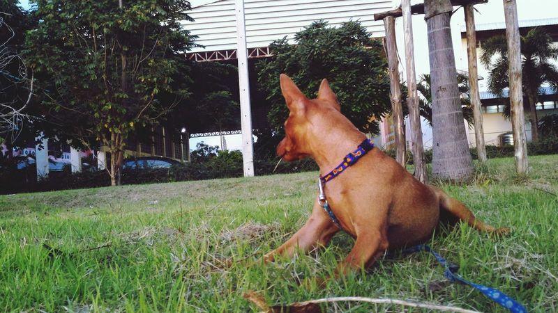 Dog Pets Dog Life Pet Dogslife Dog Lover Dog❤ Doglovers Dogs Dog Love Doglover Minature Pincher Minipinscher Mini Pincher