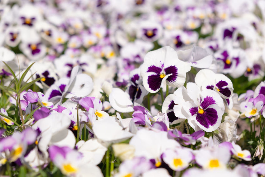 Bright Colors Copy Space Beauty In Nature Close-up Day Flower Flower Head Flowering Plant Fragility Freshness Full Frame Growth Inflorescence Nature No People Outdoors Pansy Petal Plant Purple Relaxation Selective Focus Springtime Vulnerability  White Color