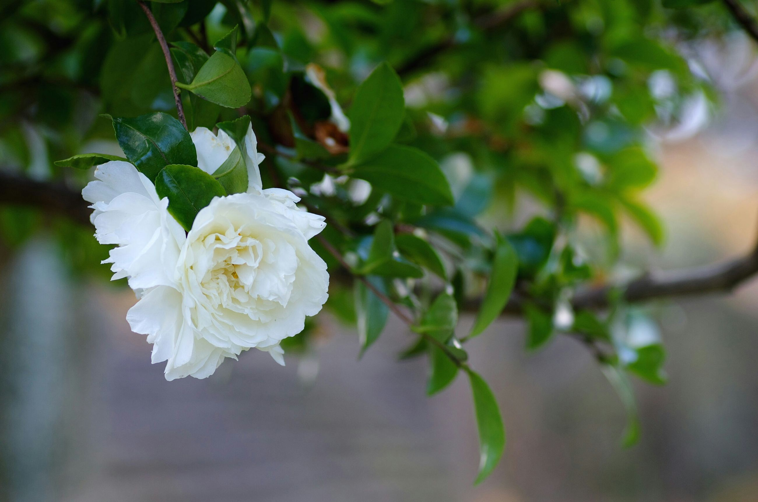 flower, freshness, growth, petal, fragility, white color, focus on foreground, close-up, beauty in nature, flower head, nature, blooming, plant, branch, leaf, blossom, bud, park - man made space, in bloom, tree