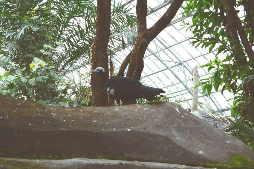 Grand Hocco Crax Rubra at Big Greenhouse Amazonia Area Zoo De Vincennes Paris