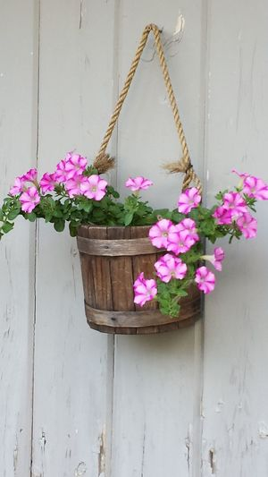 Pink Petunias Beauty In Nature Close-up Day Floral Photography Flower Flower Head Fragility Fragrant Flower Freshness Gray Background Flo Nature New Hampshire, USA No People Petal Pink Color Pink Petunia Rope Hanger Rustic Charm Wooden Planter
