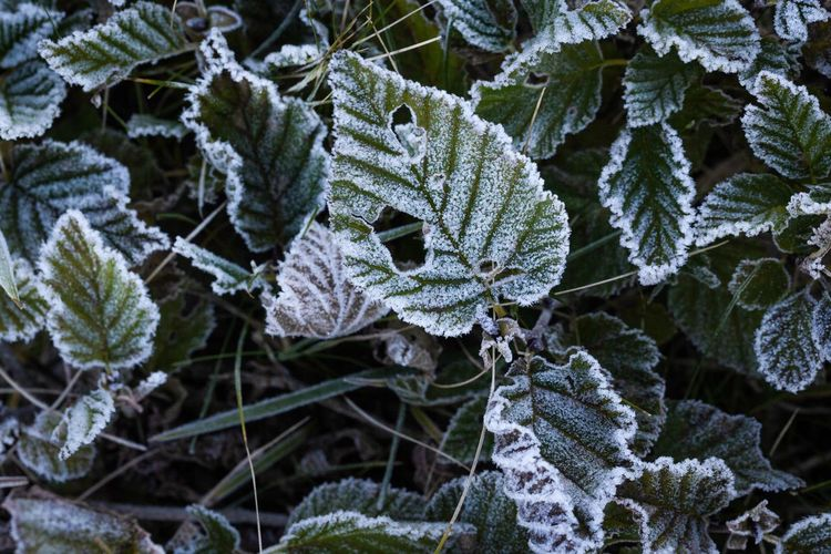 High Angle View Of Frozen Leaves On Plant At Winter