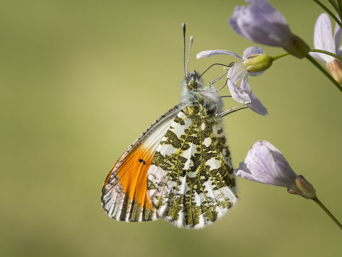 Anthocharis Cardamines Fly Fühler Macro Photography Nature Animal Aurorafalter Blossom Butterfly Colorful Freigestellt Insect Nahrung Nektar Outdoor Photography Summer Tagfalter Weißling Wings