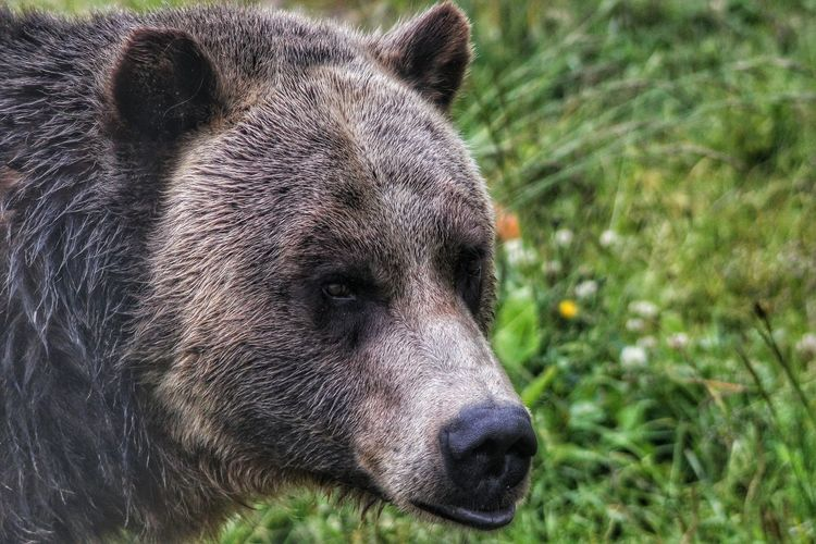 Close-up of grizzly bear looking away