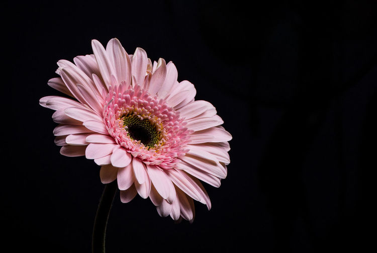Studio Shot Vulnerability  Black Background Inflorescence Pink Color Close-up Beauty In Nature Fragility Freshness Flower Flowering Plant Growth No People Gerbera Daisy Nature Petal Flower Head Plant Indoors  Daisy Pollen