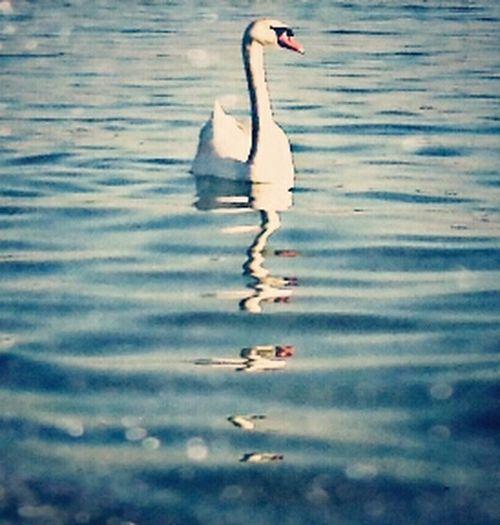Swan ♡