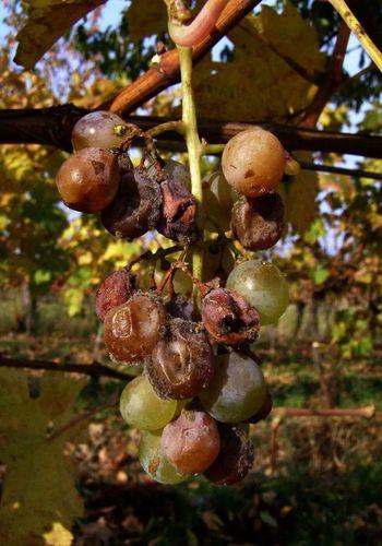 Fruits ♡ Oh No... Grapes Austria Burgenland 💜 ?