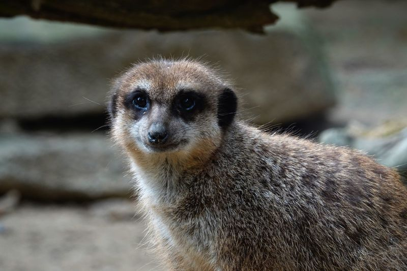 A Suricate, a small carnivoran belonging to the mongoose family. Suricata Suricatta Fauna Suricata Mongoose One Animal Furry Animals Carnivoran Suricate EyeEm Selects Animal Themes Animal One Animal Animal Wildlife Animals In The Wild Vertebrate Meerkat Animal Body Part Close-up Mammal Looking At Camera Animal Head  Nature Portrait Focus On Foreground No People Outdoors Zoo Day